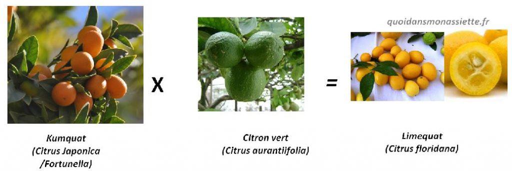 croisement limequat hybrid fruit kumquat citron vert