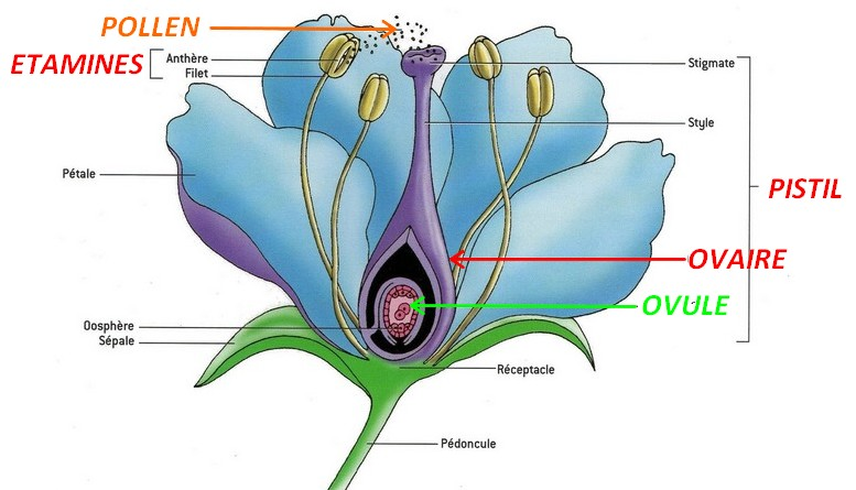 schema fleur mâle femme organe sexuel pistil etamines pollen fecondation