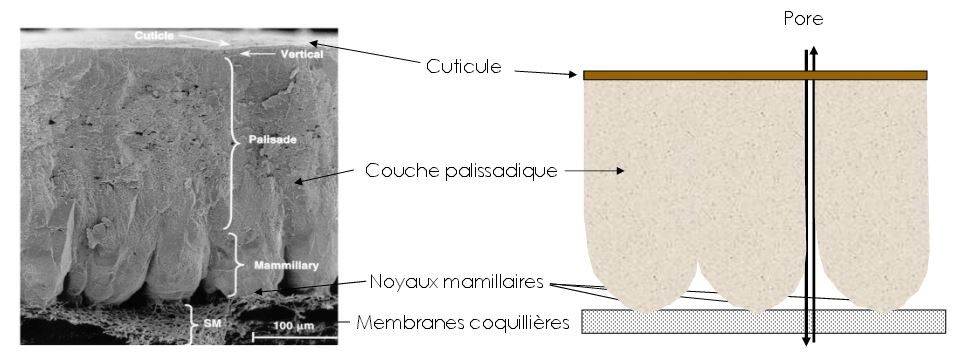 schema structure composition coquille oeuf poule