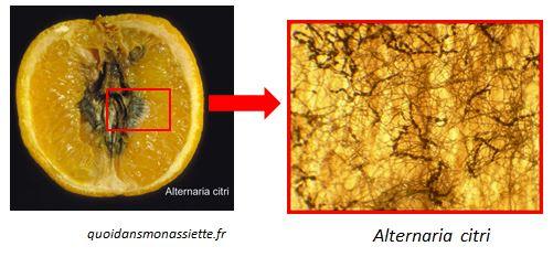 mycotoxines Alternaria citri citron mousissure moldy lemon