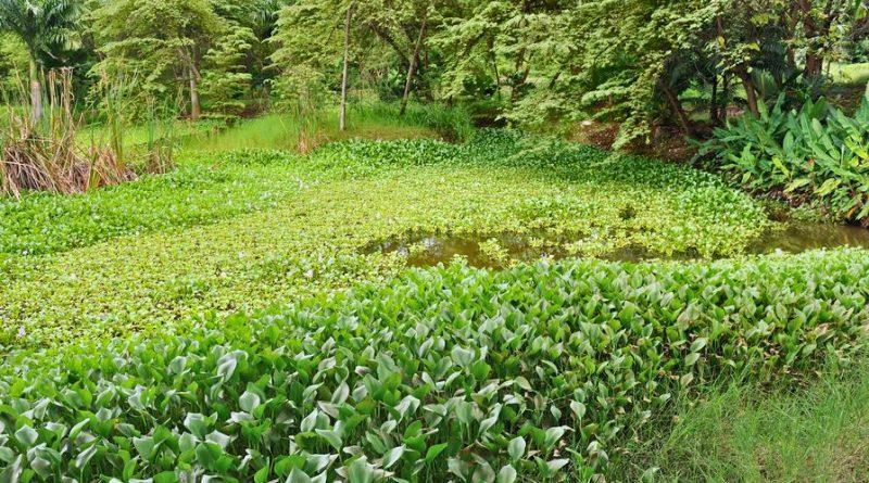 ecologie espèce invasive jacynthe eau