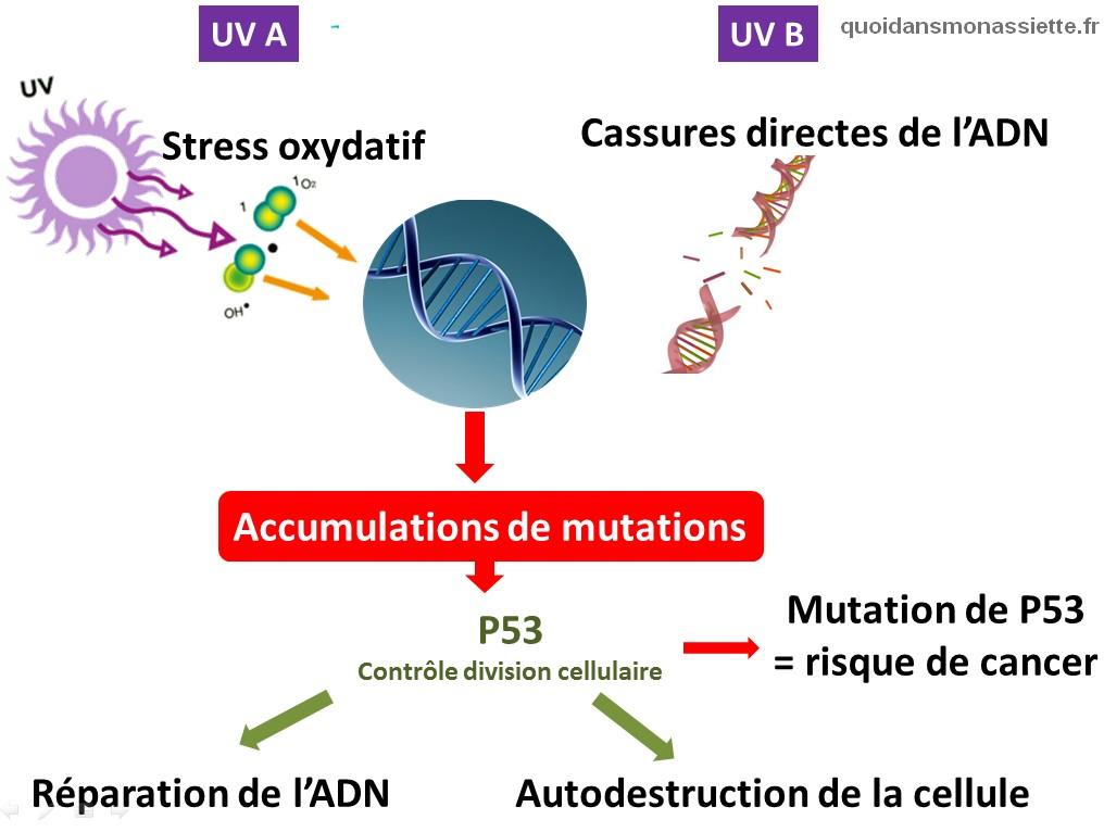 mutations genetiques ADN mecanisme biologiques UV Ultraviolet soleil peau