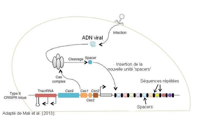 CRISPR mecanisme biologique foncitonnement spacers
