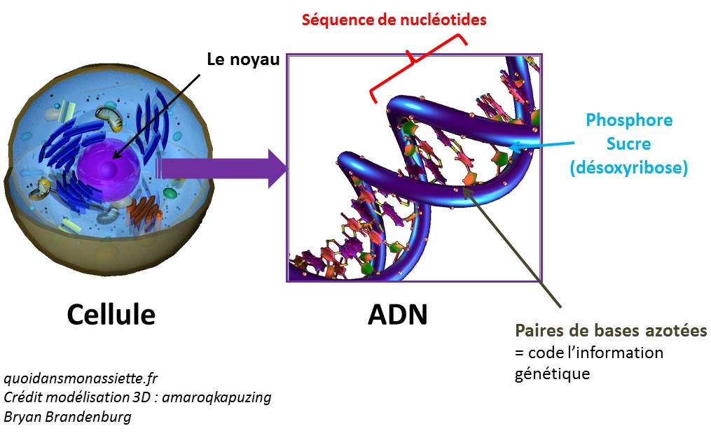 adn support information genetique code base azote nucleotides sequences