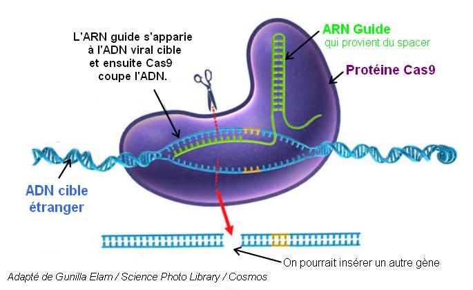genome edition crispr cas9