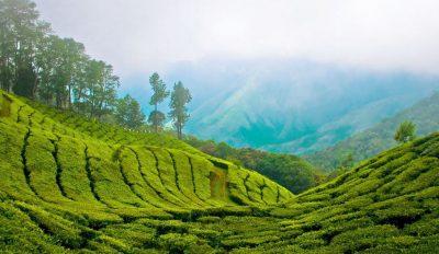 Region munnar thé tea Inde