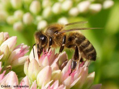 abeille api mellifera