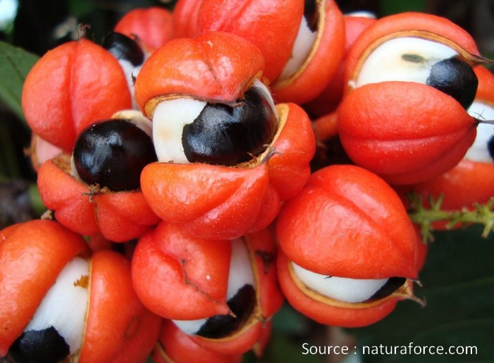 graine guarana seeds