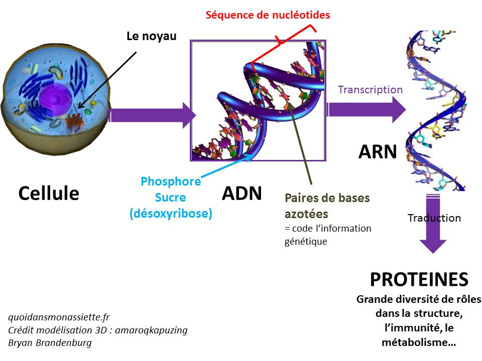 schema ADN ARN transcription traduction proteine