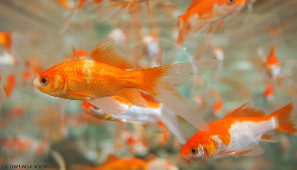 le poisson rouge produirait de l alcool pour survivre dans un milieu sans oxyg ne quoi dans. Black Bedroom Furniture Sets. Home Design Ideas