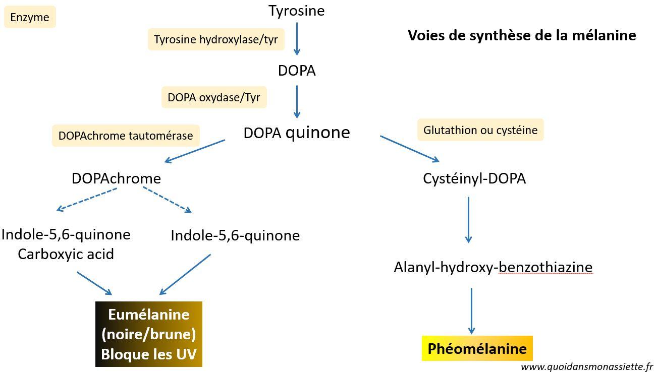 Mélanine voie de synthèse eumélanine phéomélanine molécule