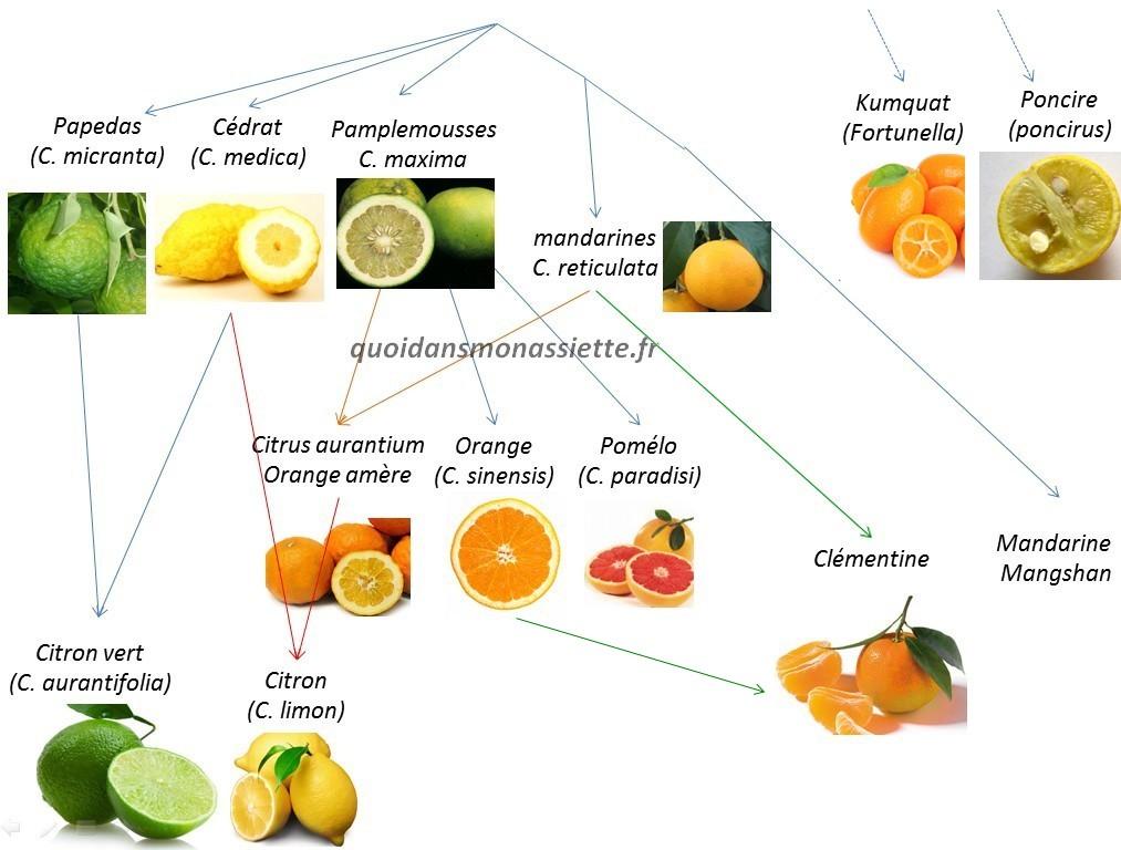 citrus fruit agrumes biodiversité famille phylogénie parenté diversity orange citron quoidansmonassiette