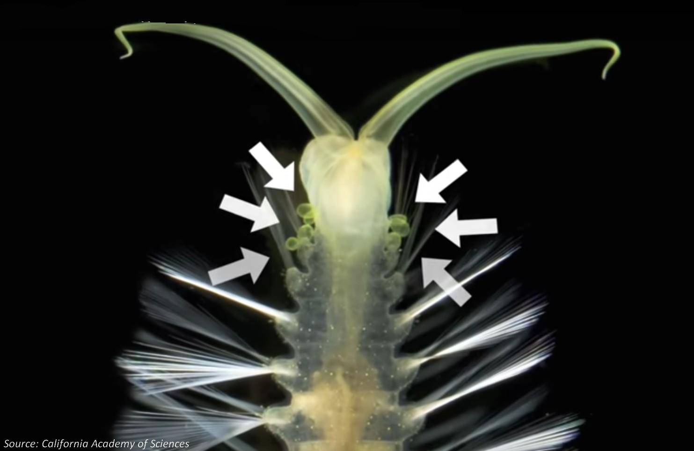 Bombardier worms Swima bombiviridis
