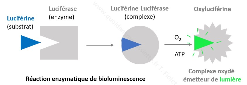 réaction luciférine luciférse enzymatique bioluminescence