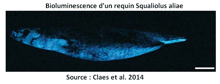 requin bioluminescence