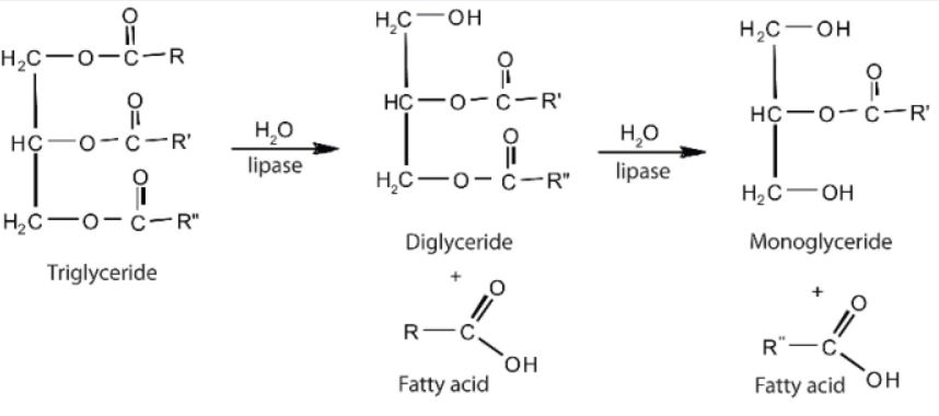 triglycéride degradation hydrolyse digestion