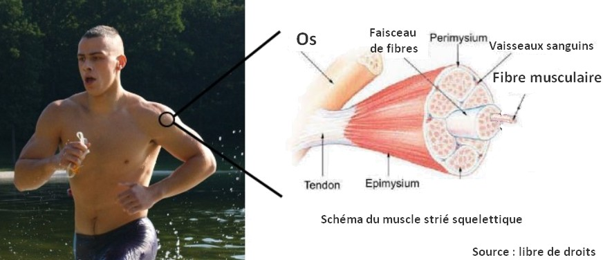 schema muscle strié squelettique