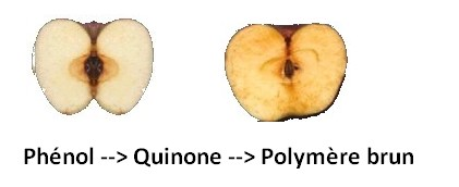 Brunissement enzymatique fruit mélanine polymere