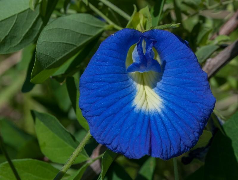 Clitoria ternatea Pois Bleu Papillon Flavonoide