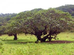 Ficus geant vasta figuier ethiopie