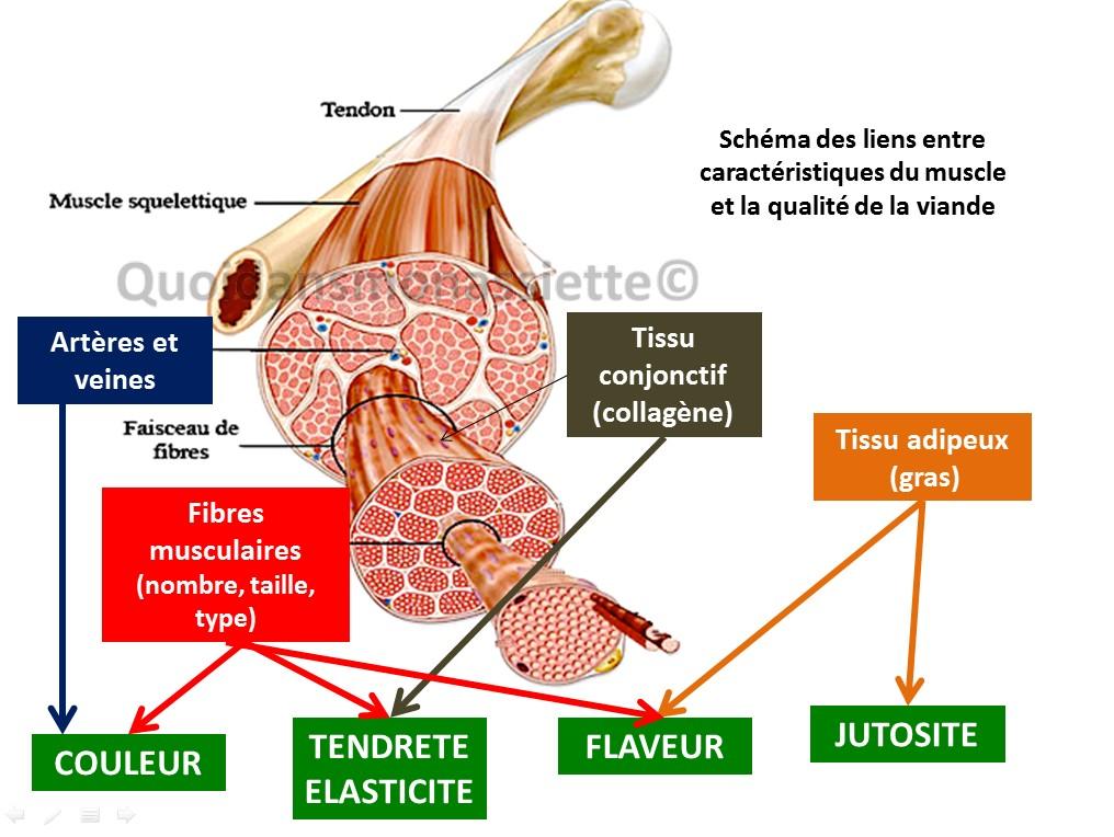 Proprietes muscle caracteristiques viandes
