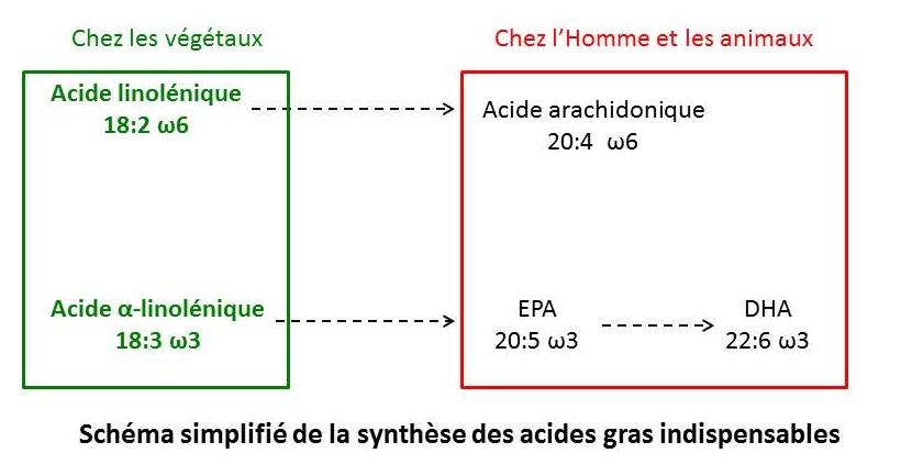 Synthèse acides gras indispensables EPA DHA acide linolenique