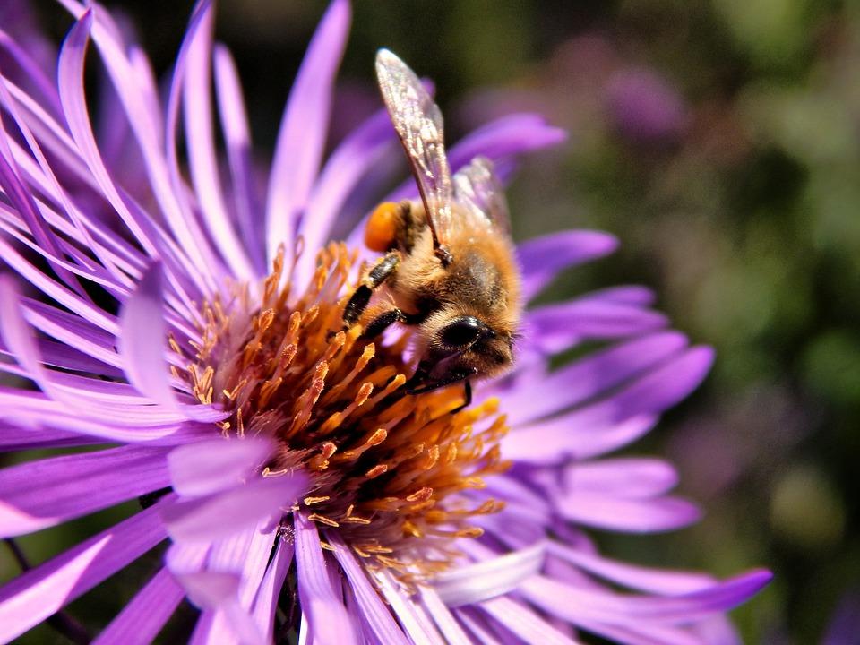 Les néonicotinoïdes, tueurs d'abeilles interdits en France en 2018