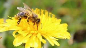 abeille pollinisation pollen pesticide neonicortinoide