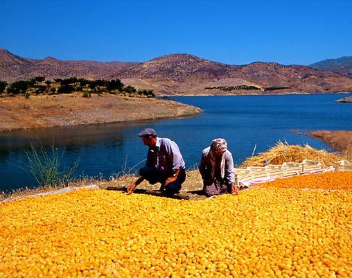 abricots malatya turquie anatolie secs