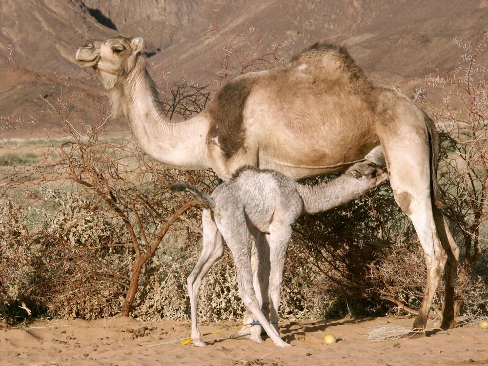 lait de chamelle lactation camel milk
