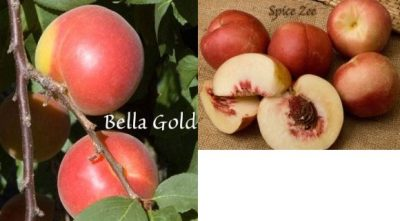 Peacotum Bella Gold interspecific apricot nectaplum