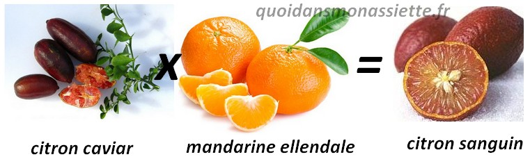 hybride croisement citron sanguin limon blood caviar ellendale mandarine