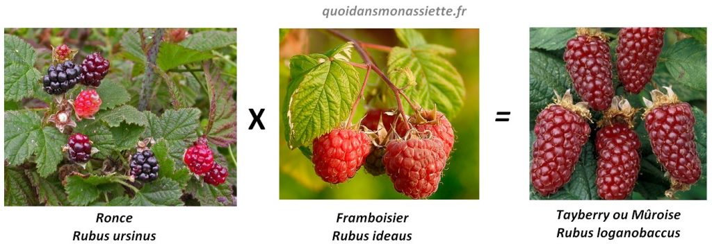croisement muroise hybride fruit framboise mûr ronce tayberry loganberry