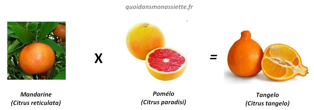 tangelo croisement hybride citrus mandarine pomélo