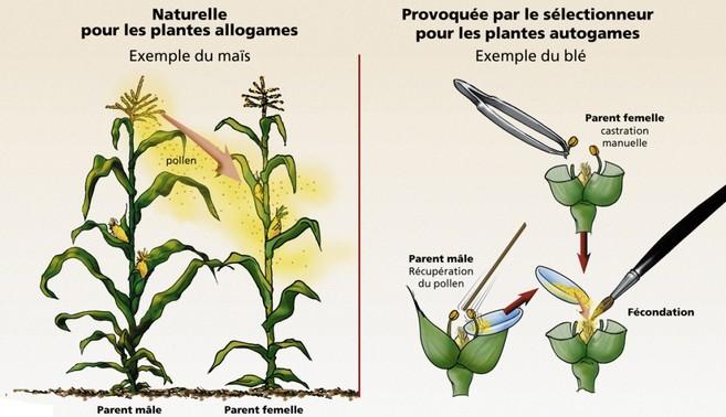 technique hybridation pollen plante fleur 2