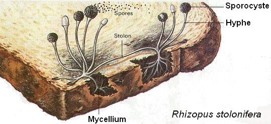 moisissure pain bread moldy myxotoxine rhizopus stolonifera