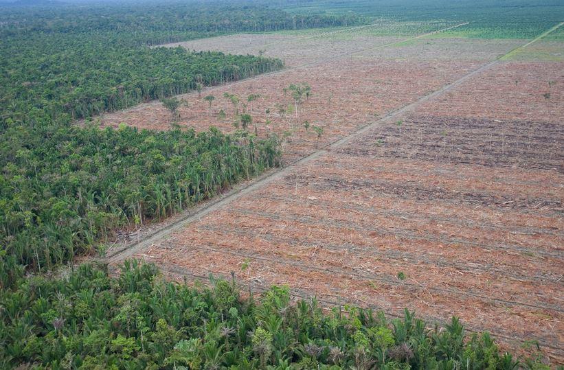 deforestation huile de palme foret vierge primaire