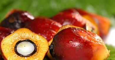 huile de palme fruit oil environnement sante deforestation