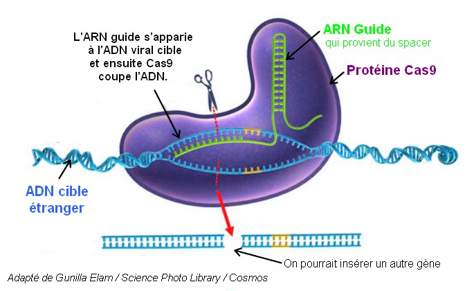 edición del genoma crispr cas9