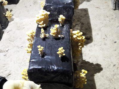 pleurotes jaunes champignon culture