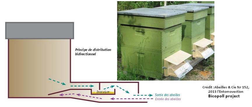 entomovectoring bio organic agriculture strawberry honeybees abeille fraise bio