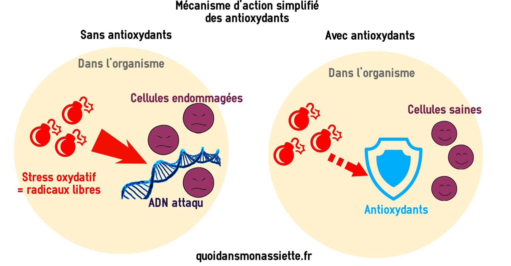 Antioxydants mecanismes actions