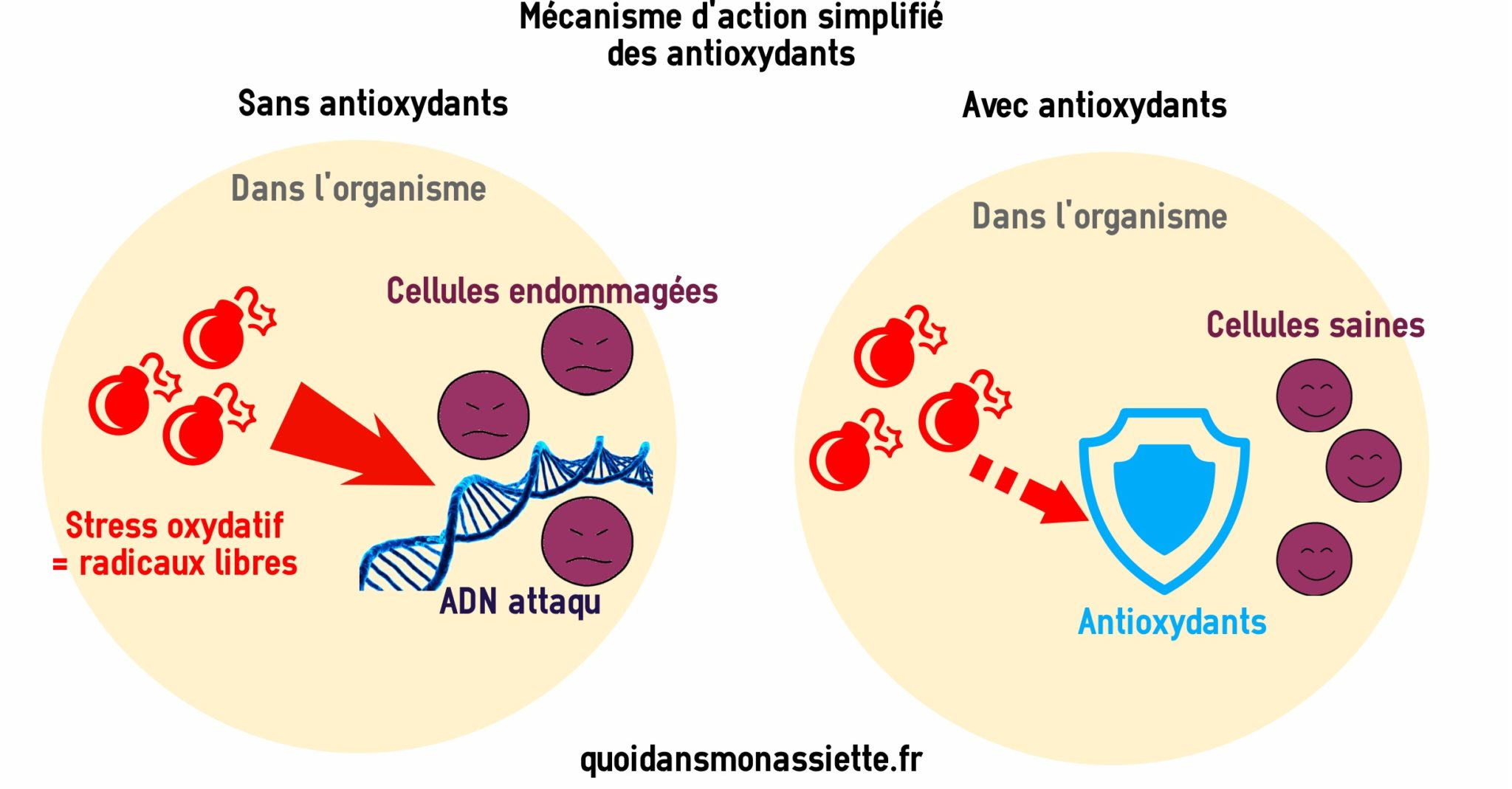 Antioxydants mecanismes actions