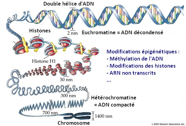 modifications épigénétiques epigenetic histone methylation adn