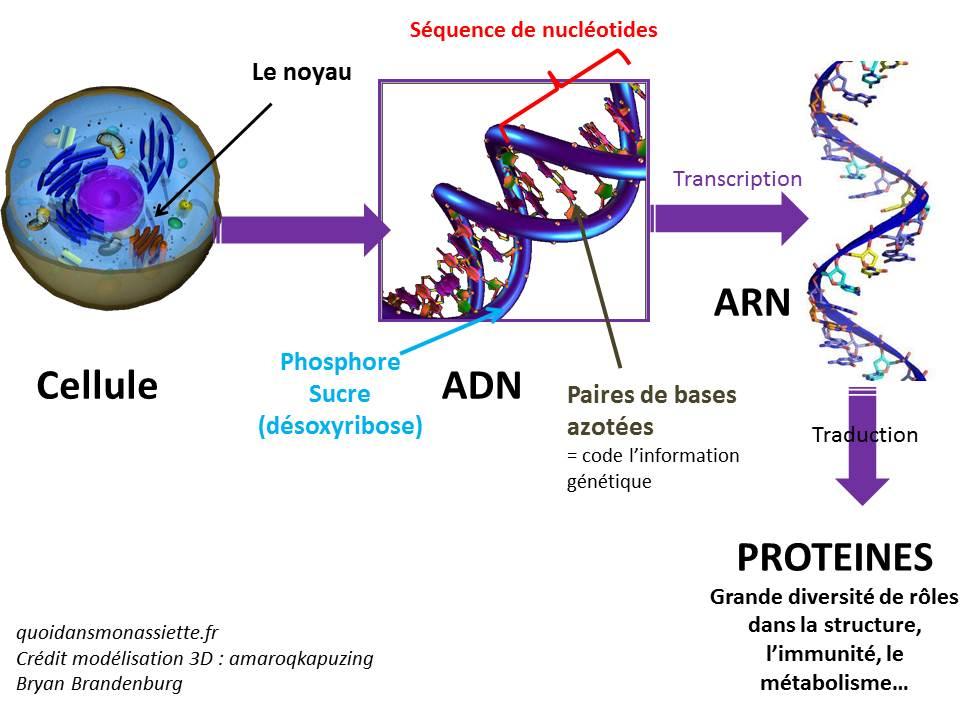 schema ADN ARN transcription traduction proteine