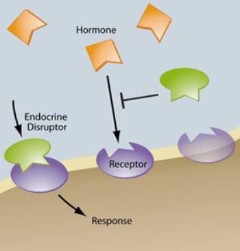 effet perturbateur endocriniens mécanismes