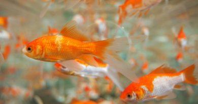 Le poisson rouge produirait de l'alcool pour survivre dans un milieu sans oxygène