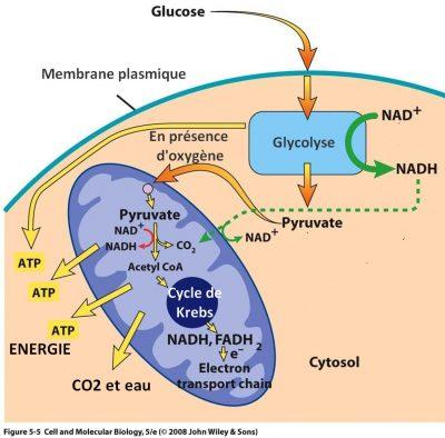 Respiration cellulaire aérobie mitochondrie