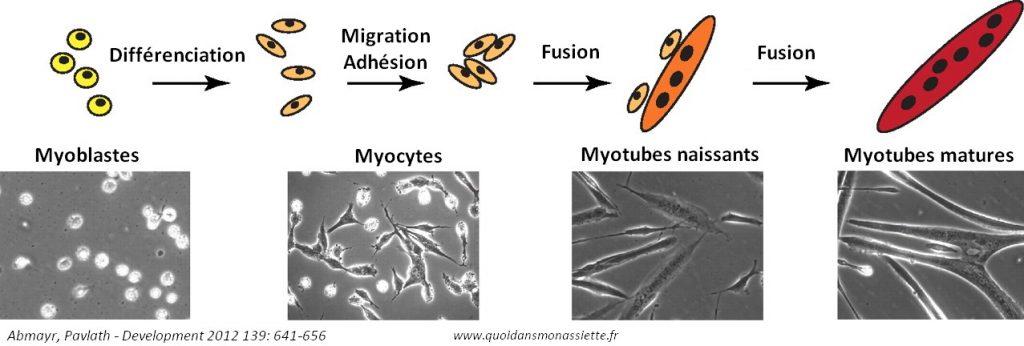formation muscle myogenèse viande