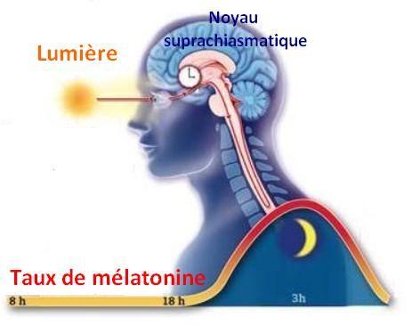 evolution melatonine rythme circadiens biologique noyau suprachiasmatique